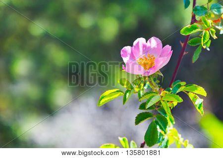 Rose hip, dog rose flower. Blossoming wild rose, medicinal plant