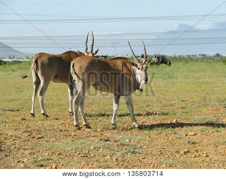 Eland Cows, Koeburg Nature Reserve, Cape Town South Africa