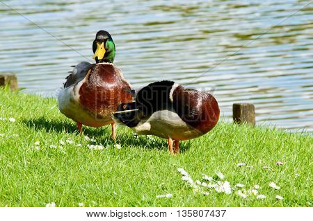 Pair of cute mallard ducks preening themselves and walking near pond with copy space over water