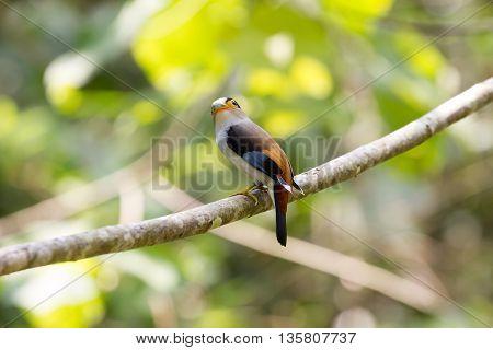 Colorful Bird Silver-breasted Broadbil