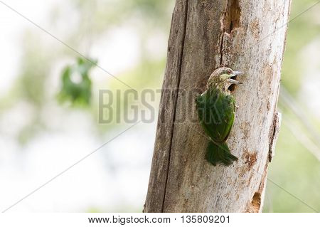 Green-eared Barbet (Megalaima faiostricta) in nature Thailand