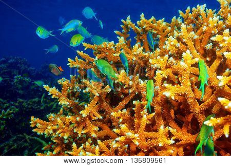 Beautiful coral reef background, little green fishes near coral garden, exotic marine life near Maldives island, tropical summer vacation concept