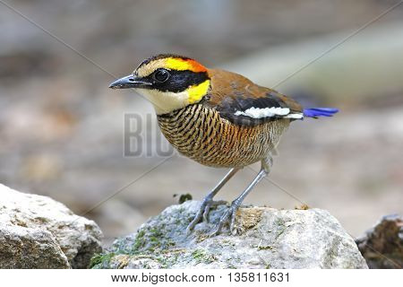 Banded Pitta Pitta guajana Female Birds of Thailand
