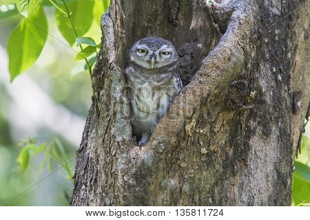 Spotted Owlet , standing next to wooden posts