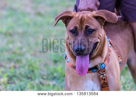 thai brown dog close up , pet