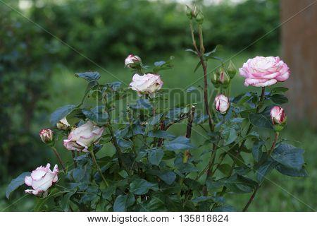 Pink rosebush in blossom on a summer day.