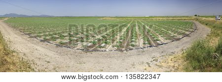 Young watermelon furrows growing at Vegas Altas del Guadiana Spain. Panoramic shot poster