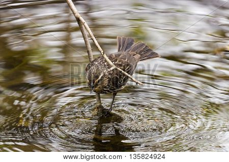 Female Red-Winged Blackbird (Agelaius phoeniceus) drinking water from pond