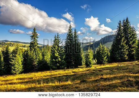 Coniferous Forest On A  Mountain Hill Side