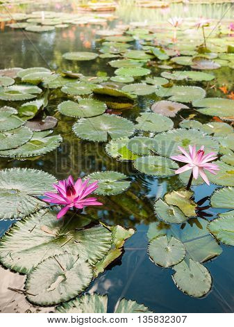Park pond with water lilies and other aquatic flora