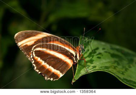 Dryadula Phaetusa Butterfly