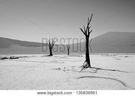 Monochrome image of Petrified Trees in Dead Vlei - Namib Naukluft Desert