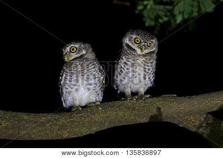 Spotted owlet Athene brama Night scene Birds of Thailand