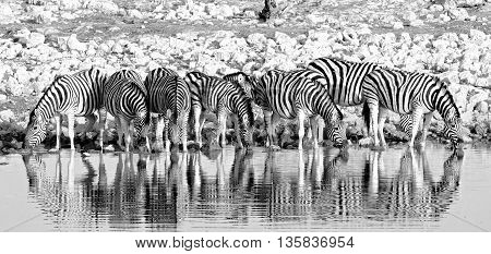 A line of zebras drinking from a waterhole in Etosha with good water reflection in black and white