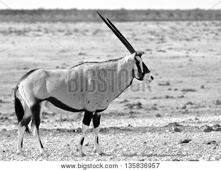 A lone gemsbok oryx standing on the etosha plains in black & white