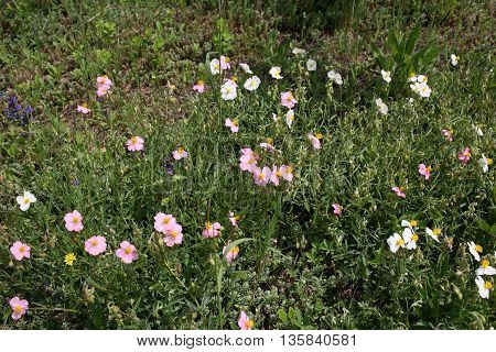 Pink small ornamental flowers in a public Botanical Garden of the city of Krivoy Rog in Ukraine