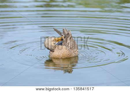 Gadwall Cleans Its Feathers Floating In The Lake
