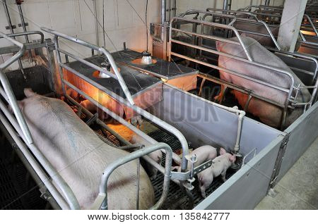 SVYDOVA - Ternopil - Ukraine - 13 November 2013. The modern pig breeding complex works in the agricultural enterprise