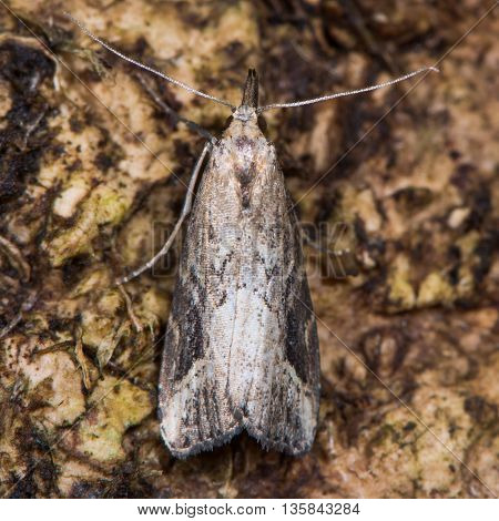 Pinion-streaked snout moth (Schrankia costaestrigalis) from above. British insect in the family Erebidae previously in Noctuidae the largest British family moths in the order Lepidoptera poster