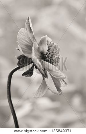 Beautiful Black and White Portrait of a Flower