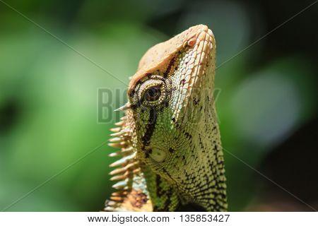 Black Face Lizard, Tree Lizard On Tree