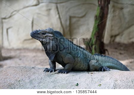 fierce looking Horned iguana standing guard and waiting for preys