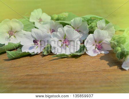 Marshmallow Althaea Officinalis
