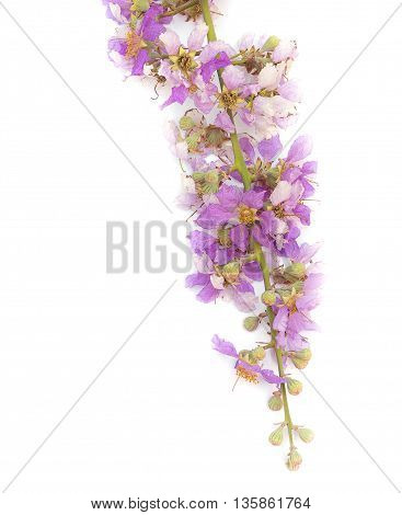 Lagerstroemia floribunda,Purple flower,Cananga flower (Cananga odorata) annonaceae, Queen's Flower, on white background.