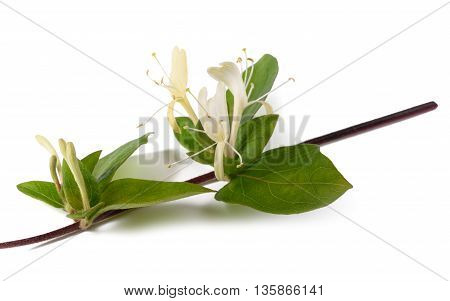 Honeysuckle Branch Isolated