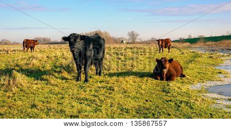 One black and three red-brown Galloway bulls watching interested at the photographer in a small Dutch nature reserve. It is a sunny day at the beginning of the winter. Some ice is on the edge of the water.