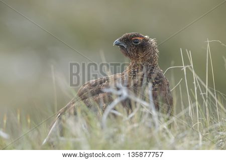 Red Grouse, Male, On Scottish Moorland, Close Up