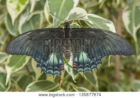 Broad-banded Swallowtail Butterfly on a leaf, close up