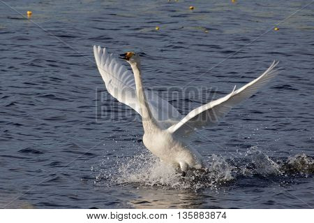 Whooper Swan Take Off