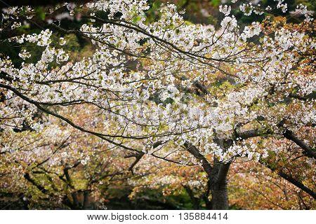 White Cherry Blossom In Beautiful Garden
