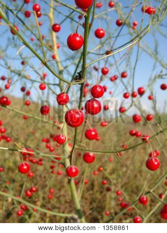 Red Berries Of An Asparagus