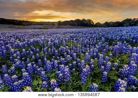 Beautiful Bluebonnets field at sunset near Austin Texas in spring.