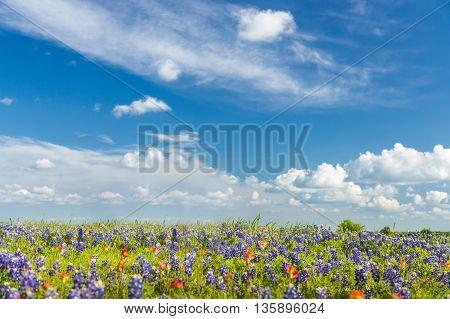 bluebonet and indian paintbrush filed and blue sky background