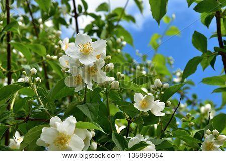 Blooming jasmine bush on a sunny day. Jasminum.