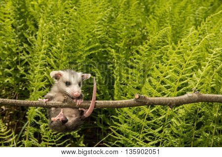 A baby opossum hanging from a branch in the woods.
