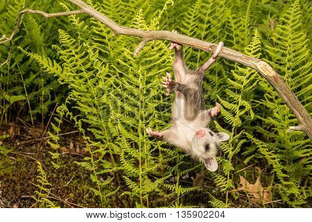 A baby opossum dangling from his tail.
