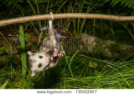 A baby opossum hanging from his tail on a branch.