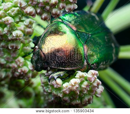 beetle Cetonia aurata. It feeds on inflorescences. Macro
