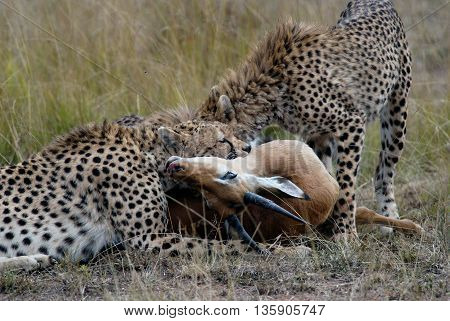 Cheetah family, catching and devouring a gazelle on the African savannah, Kenya