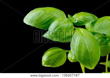 Basil plant on black background blank space for text