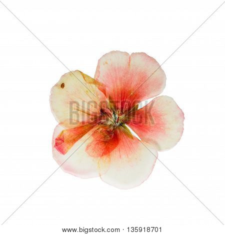 Pressed and dried delicate salmon color geranium flower. Isolated on white background. For use in scrapbooking pressed floristry (oshibana) or herbarium.