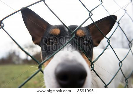Funny clever Jack Russell Terrier Head close up