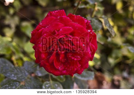 a beautiful flower with great clarity a beautiful picture and see details and leaves