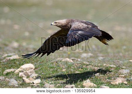 Birds of prey - Lesser Spotted Eagle (Aquila pomarina)