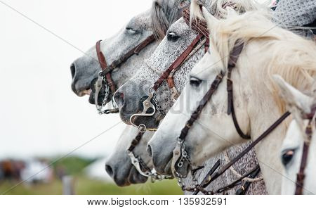 camargue horses closeup at a horse festival in south of France