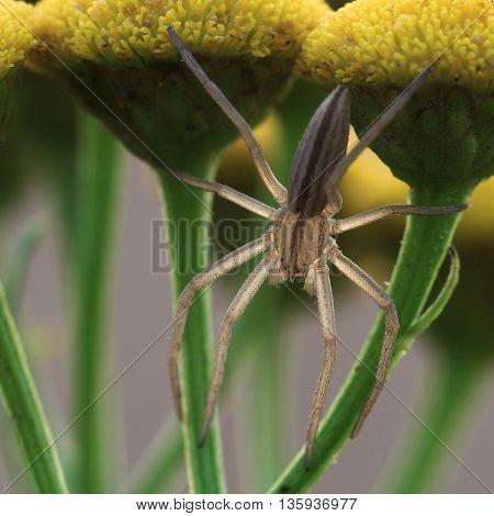 Translucent spider tibellus on Tanacetum flower. Close Up
